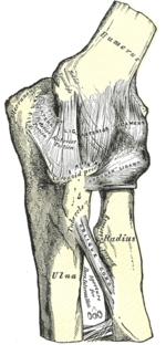 Локтевой сустав - это... Что такое Локтевой сустав?