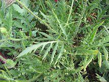 Papaver rhoeas hojas.jpg